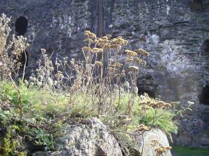 Bohus weeds